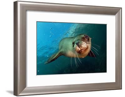 Seal Up Close-Lantern Press-Framed Art Print