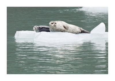 Seal With Pup On Iceberg-Donald Paulson-Giclee Print