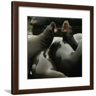 Seals Compete for Dock Space on Pier 39--Framed Photographic Print