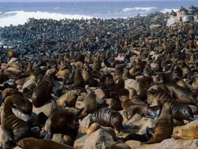 Seals in Cape Cross Seal Reserve, Skeleton Coast National Park, Namibia-David Wall-Photographic Print