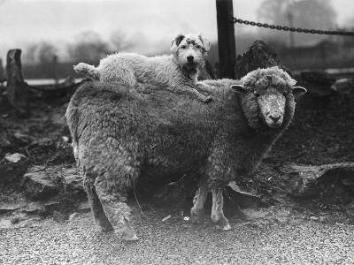 Sealyham Riding a Sheep--Photographic Print
