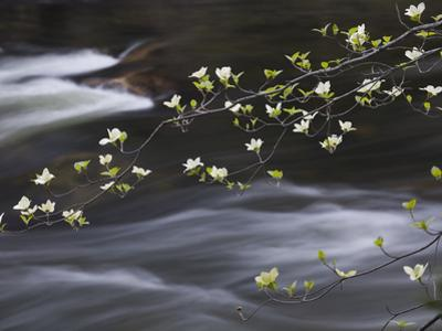 Dogwoods Flowering Along the Merced River in Yosemite Valley in the Spring, California, USA