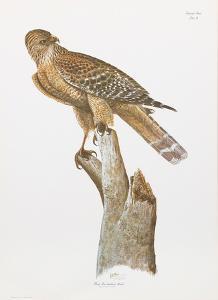 Florida Red Shouldered Hawk by Sean Bollar