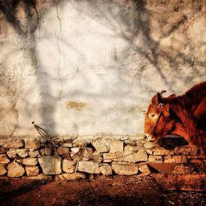 A Cow Tied Up Outside a Small Farmhouse in Rural China by Sean Gallagher