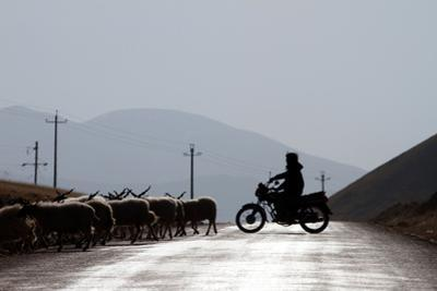 A Tibetan Farmer Herds His Cattle Using a Motorcycle by Sean Gallagher