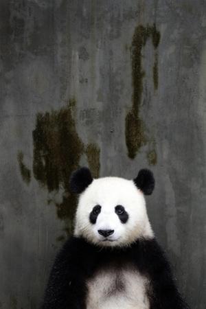 Portrait of a Seated Giant Panda, Ailuropoda Melanoleuca by Sean Gallagher
