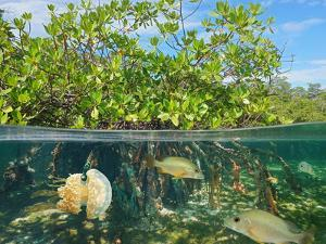 Mangrove Above and Below Water Surface, Half and Half, Caribbean Sea by Seaphotoart
