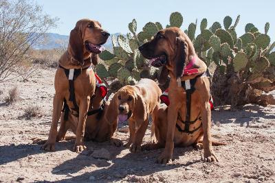 Search and Rescue Bloodhounds in the Sonoran Desert-Zandria Muench Beraldo-Photographic Print
