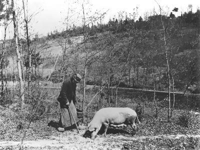 Searching for Truffles, C.1900--Photographic Print