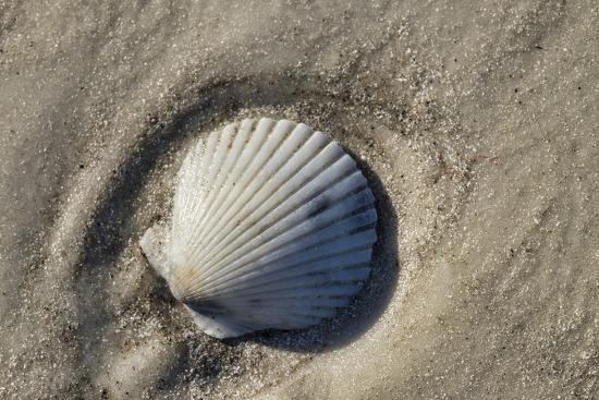 Seashell, Honeymoon Island State Park, Dunedin, Florida, USA-Jim Engelbrecht-Photographic Print