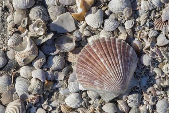 Seashells, Honeymoon Island State Park, Dunedin, Florida, USA-Jim Engelbrecht-Photographic Print
