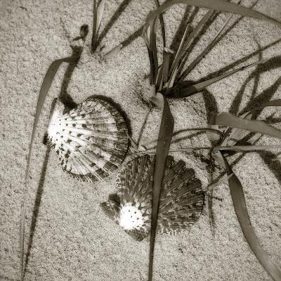 Seashells IV-Alan Hausenflock-Photographic Print