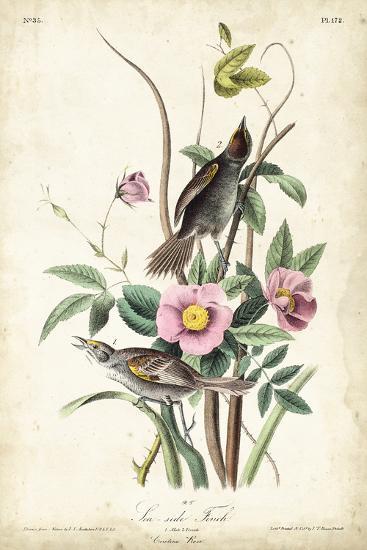 Seaside Finch-John James Audubon-Art Print