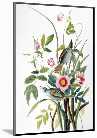 Seaside Sparrow, 1858-John James Audubon-Mounted Premium Giclee Print