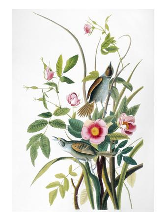 https://imgc.artprintimages.com/img/print/seaside-sparrow-1858_u-l-pfdk6v0.jpg?artPerspective=n