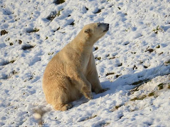 Seated Polar Bear Full Bleed-Martin Fowkes-Giclee Print
