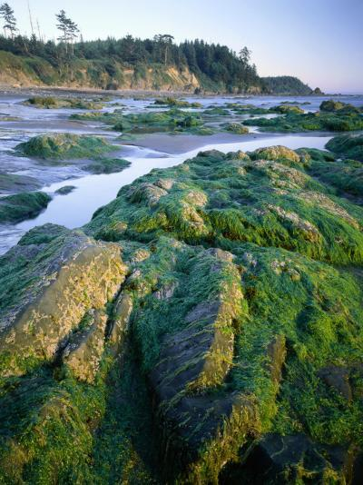 Seaweed on Rocks During Low Tide Near Cape Alava, Olympic National Park, Washington, USA-Scott T^ Smith-Photographic Print