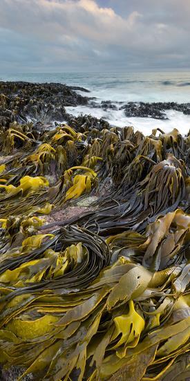 Seaweed, Waipapa Coast, Catlins, Southland, South Island, New Zealand-Rainer Mirau-Photographic Print