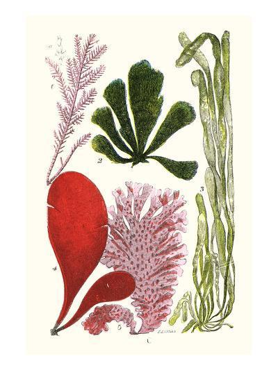 Seaweeds - Common Coralline-James Sowerby-Art Print