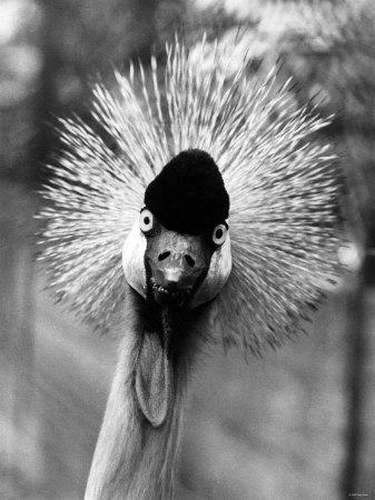 Secretary Bird, Bird of Prey--Photographic Print