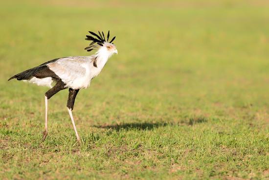 Secretary bird, Masai Mara, Kenya, East Africa, Africa-Karen Deakin-Photographic Print