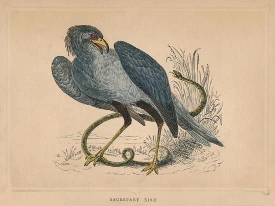 'Secretary Bird' (Sagittarius serpentarius), c1850, (1856)-Unknown-Giclee Print