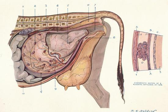 Section of the abdomen of a cow, showing foetus in normal position, c1905-Unknown-Giclee Print