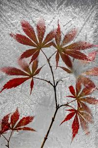 Red Maple by Secundino Losada