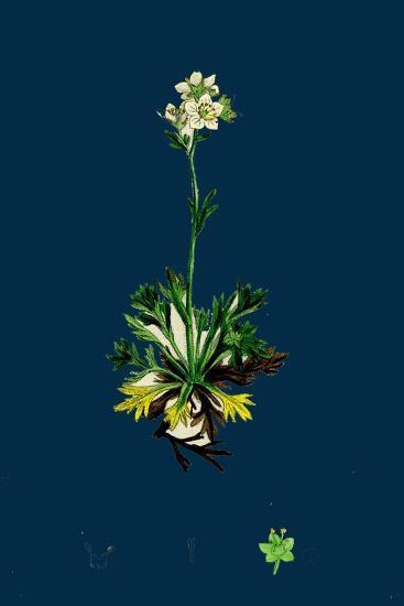 Sedum Acre; Biting Stone-Crop--Giclee Print