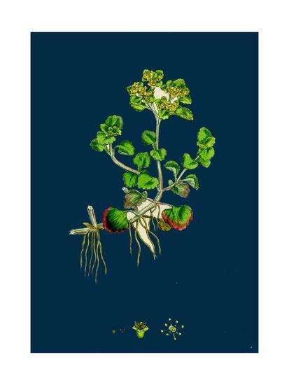 Sedum Fabaria; Narrow-Leaved Orpine--Giclee Print