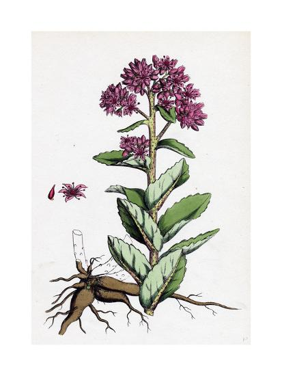 Sedum Purpurascens Broad-Leaved Orpine--Giclee Print