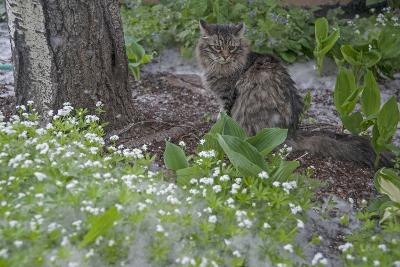 Seed-Bearing 'Cotton' from a Quaking Aspen Tree Falls on a Cat and a Garden of Sweet Woodruff-Gordon Wiltsie-Photographic Print