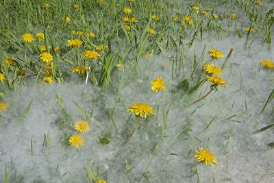 Seed-Laden 'Cotton' from Quaking Aspens Buries Dandelions and Grass, Montana-Gordon Wiltsie-Photographic Print