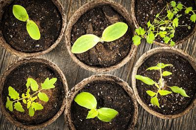Seedlings Growing in Peat Moss Pots-elenathewise-Photographic Print