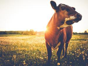 Happy Single Cow on a Meadow during Sunset by SehrguteFotos
