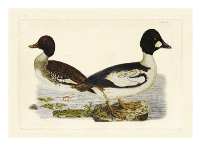 Selby Duck I-John Selby-Art Print
