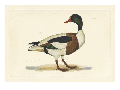 Selby Duck II-John Selby-Art Print