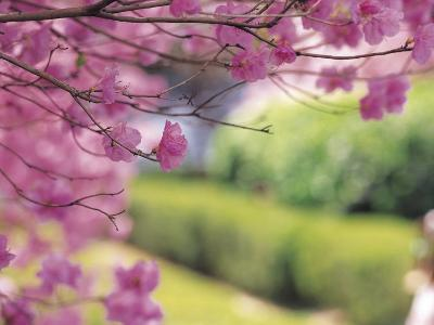 Selective Focus of Beautiful Blooming Flowers on Tree Branches--Photographic Print