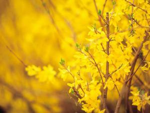 Selective Focus of Blooming Yellow Flower Buds on Branches