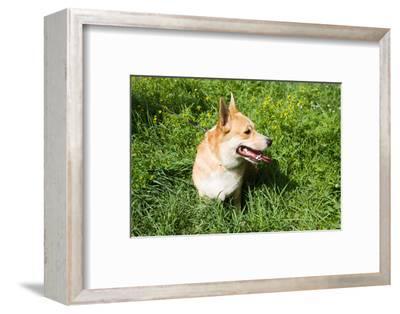 A Welsh Corgi Pembroke Dog in the Grass