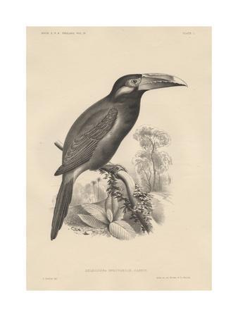 https://imgc.artprintimages.com/img/print/selenidera-spectabilis-litho-by-bowen-and-co-1850_u-l-puqzt90.jpg?p=0