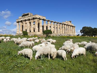 Selinus Greek Temple with Flock of Sheep, Selinunte, Sicily, Italy, Europe-Stuart Black-Photographic Print