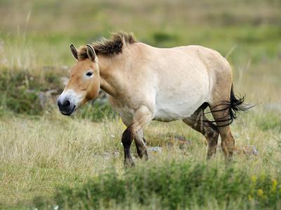 Semi Wild Przewalski Horse Stallion, Parc Du Villaret, Causse Mejean, Lozere, France-Eric Baccega-Photographic Print