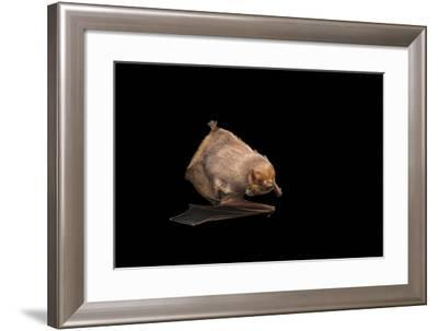 Seminole bat, Lasiurus seminolus, at the Austin Bat Refuge.-Joel Sartore-Framed Photographic Print