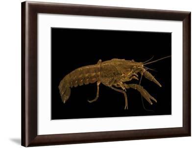 Seminole crayfish collected at Beecher Springs Run-Joel Sartore-Framed Photographic Print