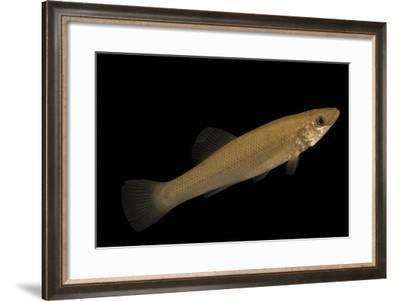 Seminole killifish, Fundulus seminolis, at Welaka National Fish Hatchery Aquarium.-Joel Sartore-Framed Photographic Print