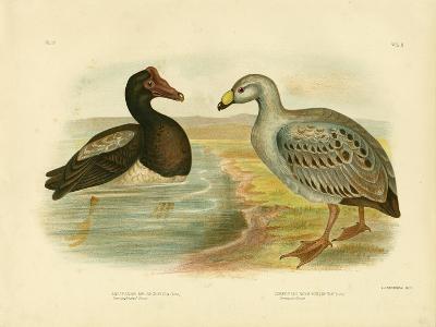 Semipalmated Goose or Magpie Goose, 1891-Gracius Broinowski-Giclee Print