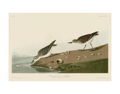 Semipalmated Sandpiper-John James Audubon-Art Print