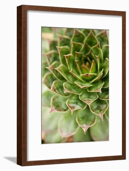 Sempervivum Succulent III-Erin Berzel-Framed Photographic Print