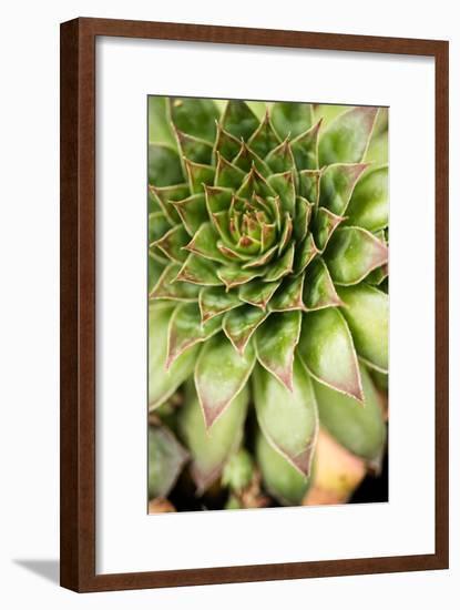 Sempervivum Succulent IV-Erin Berzel-Framed Photographic Print